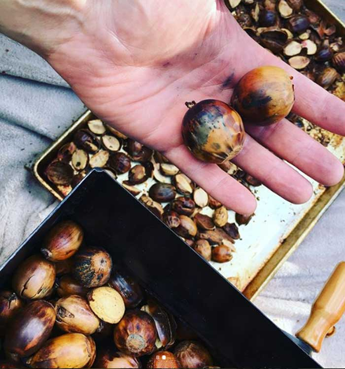 Giant burr oak acorns getting cracked open in our Dave-Bilt nut cracker.