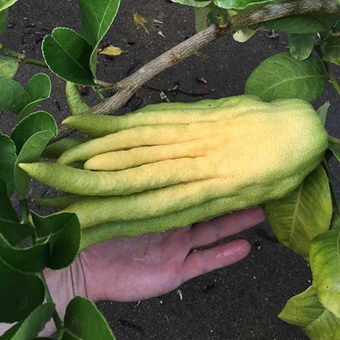 A ripening Buddha's hand citron.