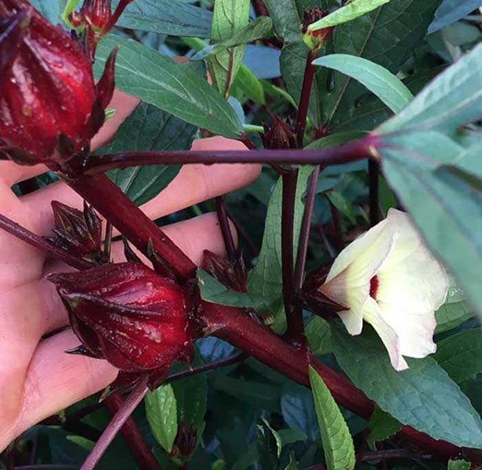 Hibiscus A Tasty Addition To Your Edible Landscape Or Garden