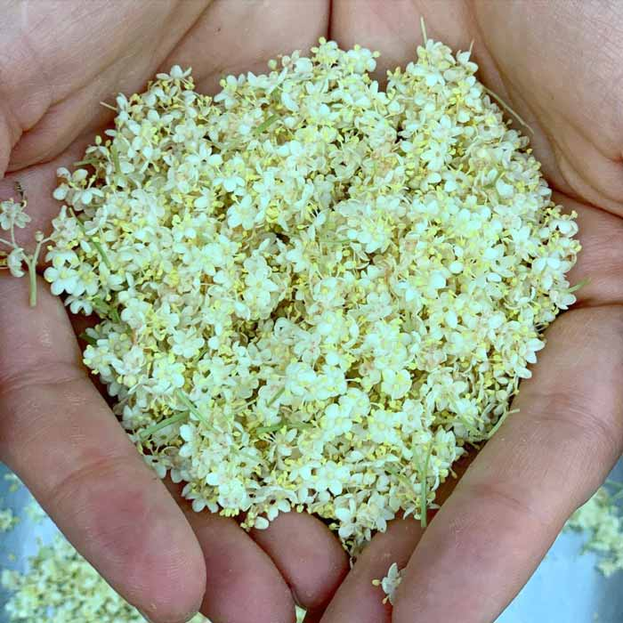 A handful of freshly processed elderflowers from our garden.