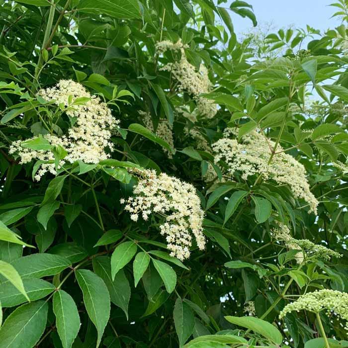 Elderflowers on tree. How to ID elderflowers. The first three weeks of June are peak elderflower season where we live (outskirts of Greenville, SC - Ag Zone 7b).