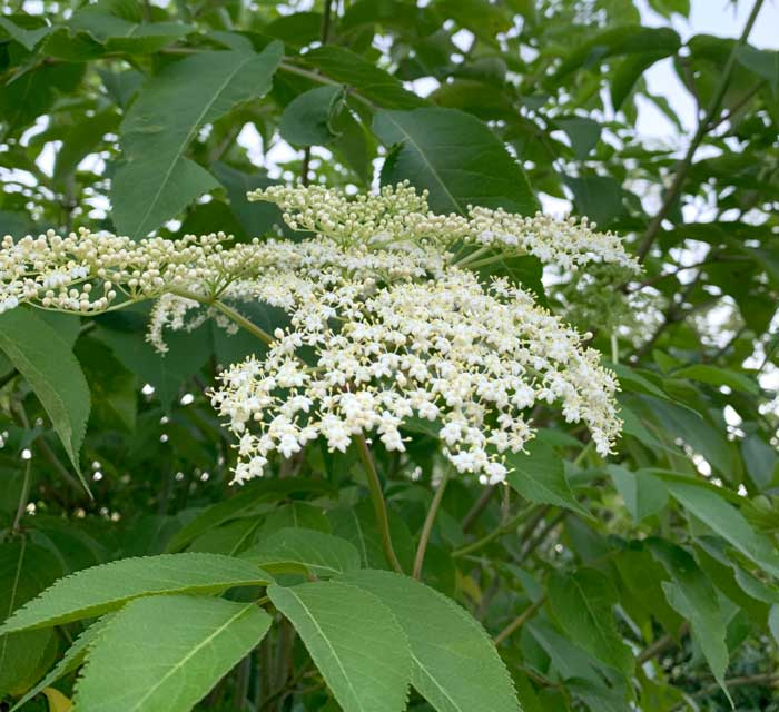 A closer look: you want to remove elderflower clusters that have opened, not ones that are still closed, turned brown, or already set small green fruit.