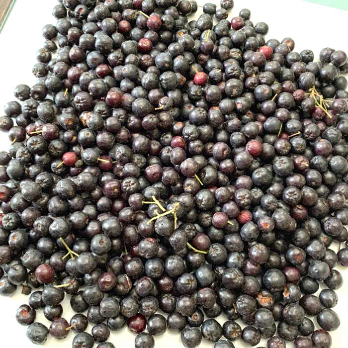A nice pile of just-picked Aronia berries, about to made into aronia-blackberry wine. Year round fruit.