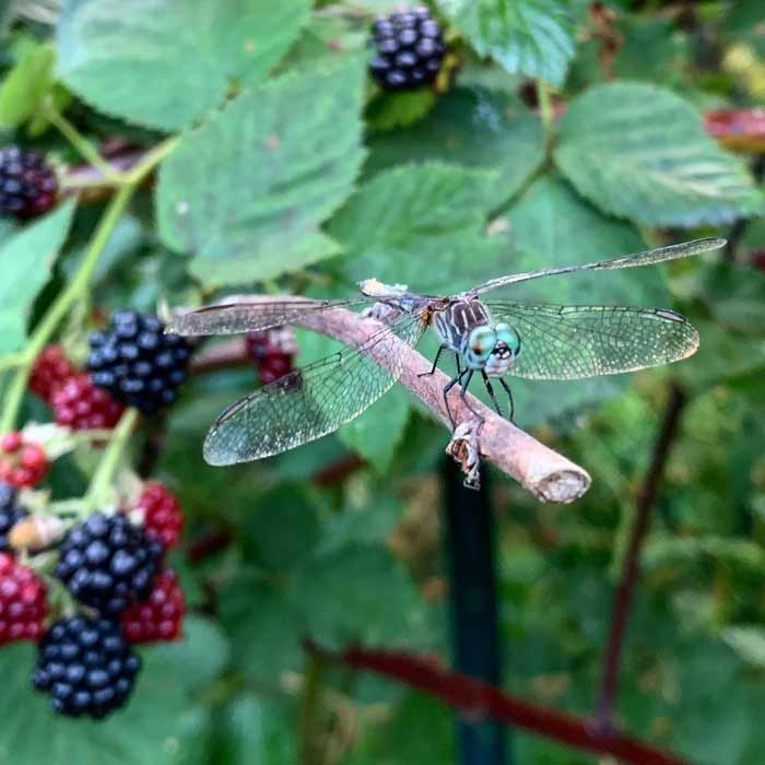 A dragonfly guarding a thornless blackberry patch at Tyrant Farms. The Tyrant and I probably ate about a pound of blackberries daily from our garden during peak season this year.