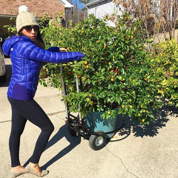 The Tyrant showing off the Porta-Potter, our citrus pot mover. Don't let this picture fool you, she's not usually the one out moving the potted citrus on a cold winter day, although she does model the contraption better than I do.