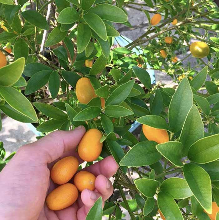Kumquats are a citrus variety that you eat skin and all. The skin is sweet and the inner fruit is nice and tart, making a delightful flavor combo.