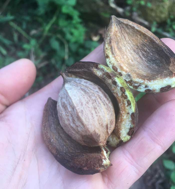 It's fairly easy to pull off the outer husk on a hickory nut, but due to the extremely hard yet brittle shell, it's very difficult to access and cleanly remove the nut meat inside.