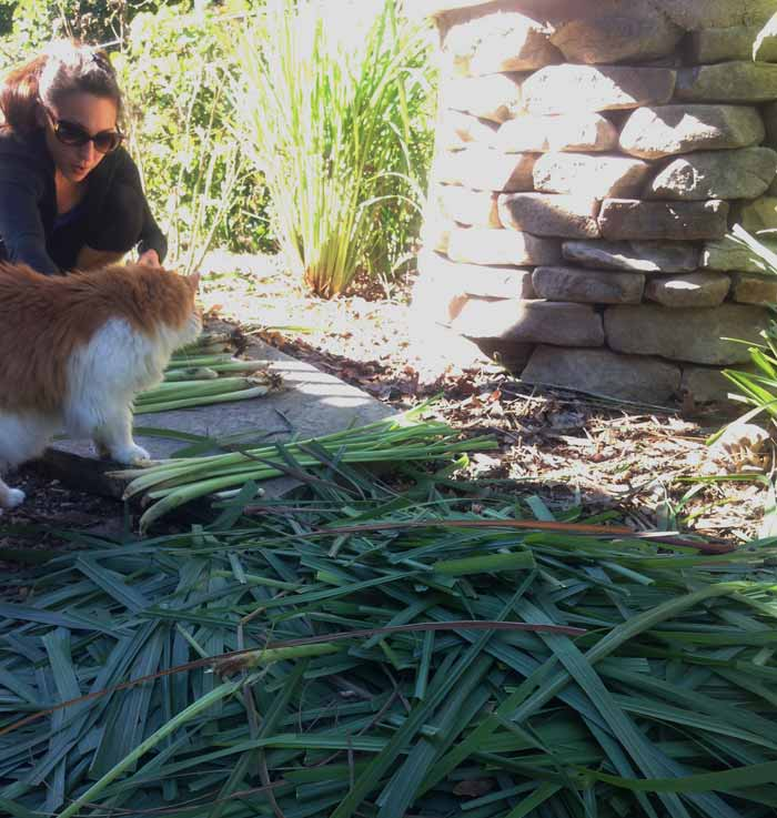 The Tyrant processing lemongrass stalks post-harvest as Charlie the Cat comes over to investigate. How to grow lemongrass, by Tyrant Farms