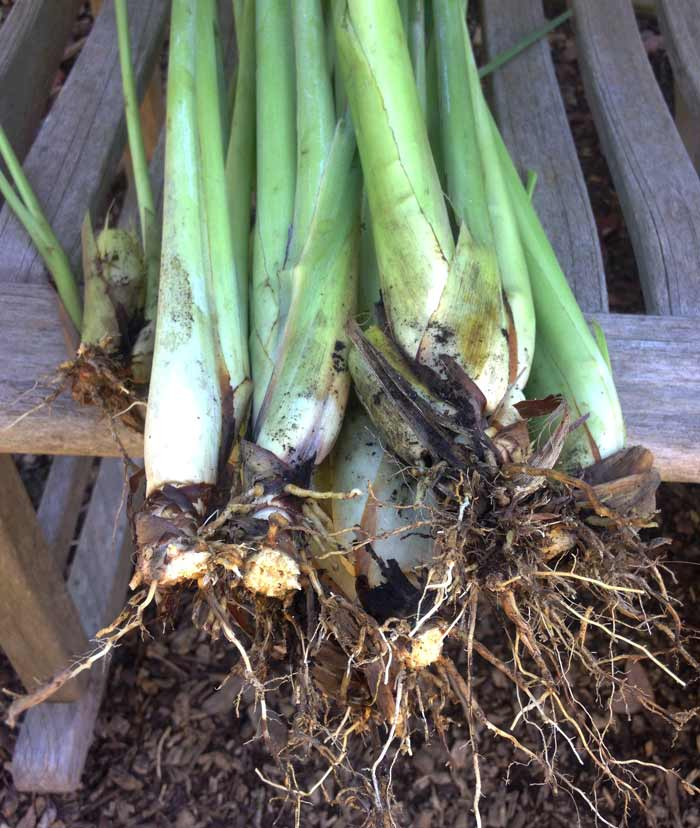 How many lemongrass plants do you want to grow next year? Remove mature lemongrass stalks from this year's plants before first frost - one stalk = one plant next year. Then cut the stalk back to about 5