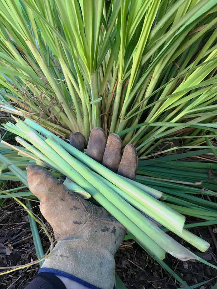 Harvesting lemongrass stalks. If you just want to get a few stalks from the plant during the growing season, don't pull up the entire stalk, roots and all. Instead just cut the stalks close to the base and they'll grow back.