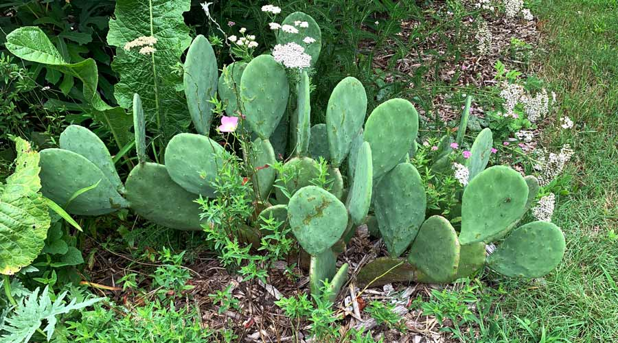The oldest prickly pear cactus plant at Tyrant Farms that was started from a single pad four years prior to this photo.