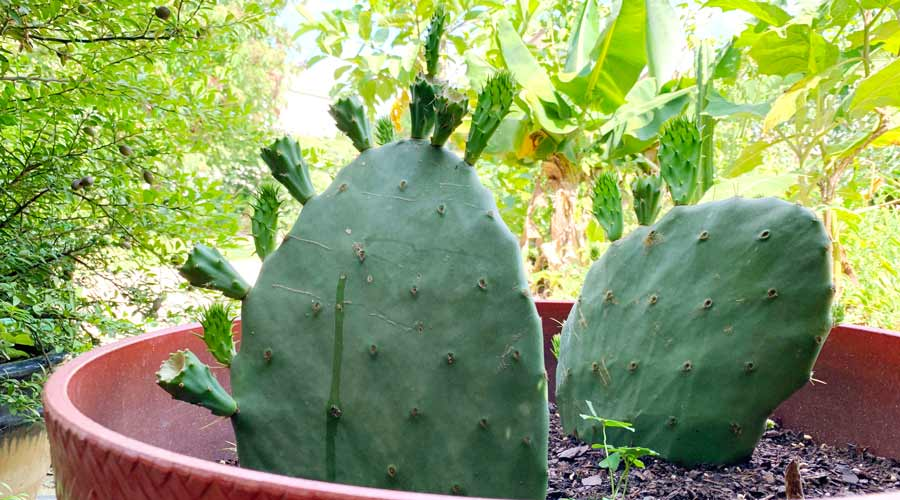 How to grow and eat prickly pear cactuses thumbnail