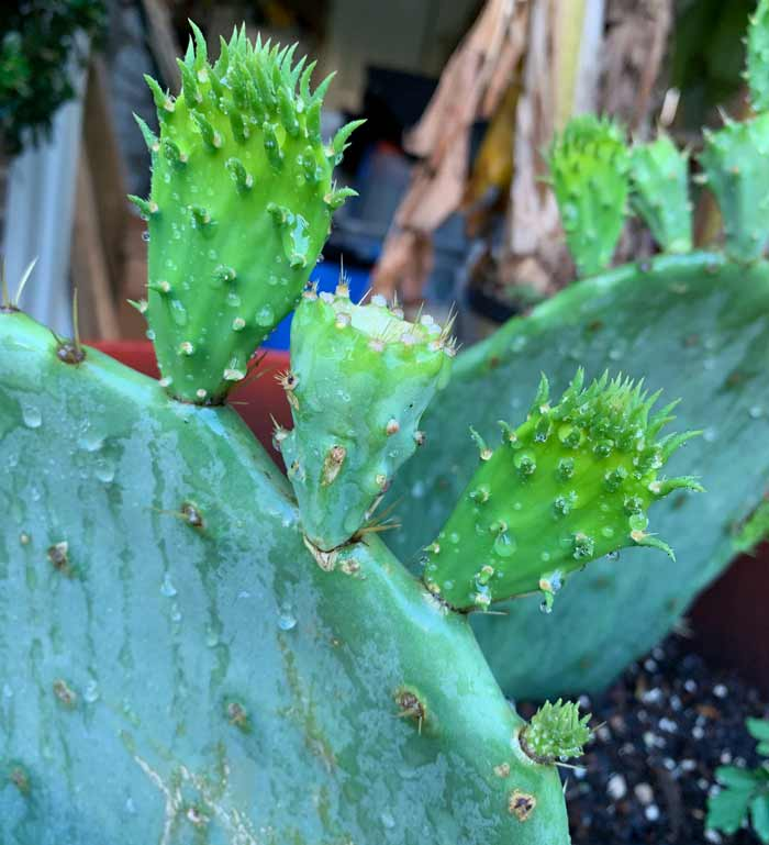 New pads forming on the prickly pear pad? That means it's rooted! How to grow prickly pear cactus.