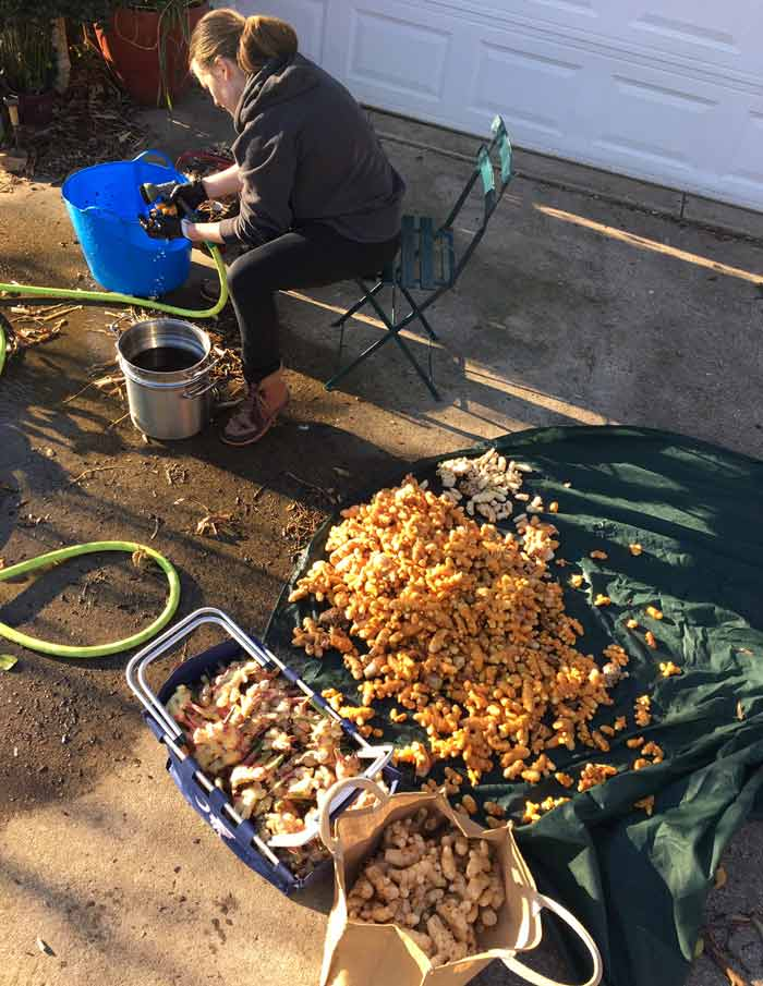 Christiana, Oak Hill's fall intern, hard at work cleaning turmeric and ginger rhizomes.