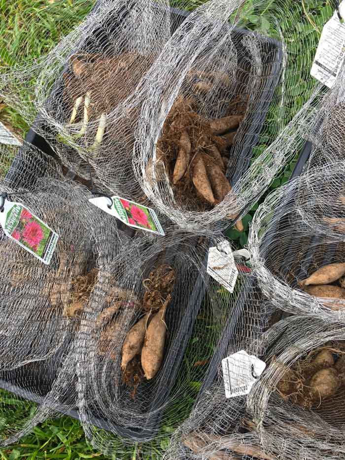 The Tyrant attaches labels to the top of each Vole King basket so she can remember what variety is in each basket. If you're planting edible tubers that you harvest in fall after the plant has gone dormant, these tags are especially helpful.