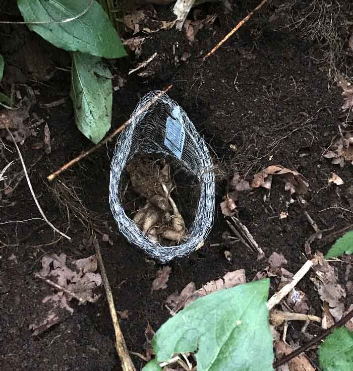 How to prevent or stop voles using Vole King baskets.